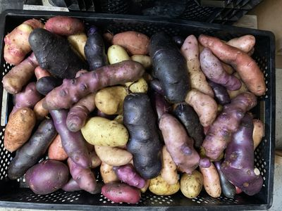 Lubera breeds potatoes – the most important questions and answers